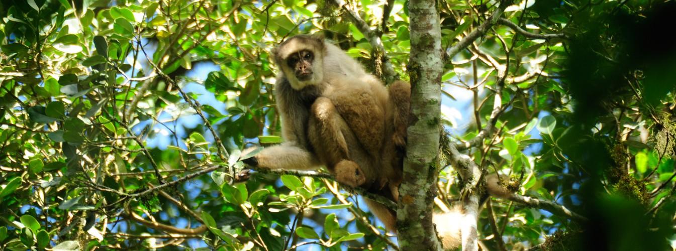 Macaco Muriqui